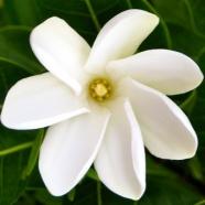 Цветы тиаре фото